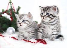 在圣诞节的两只小猫纯血种马 图库摄影