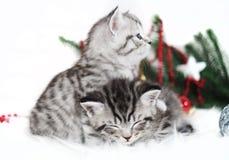 在圣诞节的两只小猫纯血种马 免版税库存图片
