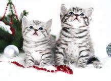 在圣诞节的两只小猫纯血种马 库存图片
