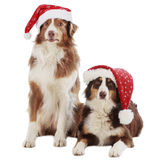 在圣诞节的两只澳大利亚牧羊犬 免版税库存照片
