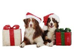在圣诞节的两只澳大利亚牧羊犬 图库摄影