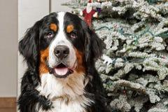 在圣诞节的伯尔尼的山狗 库存照片