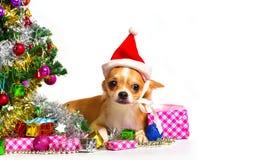 在圣诞节的奇瓦瓦狗狗 库存照片