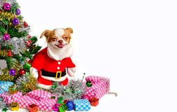 在圣诞节的奇瓦瓦狗狗 免版税库存图片