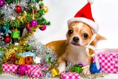 在圣诞节的奇瓦瓦狗狗 图库摄影