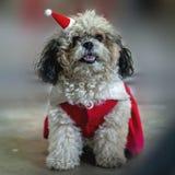 在圣诞节的逗人喜爱的坐的狗-圣诞老人帽子 库存照片