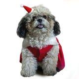 在圣诞节的逗人喜爱的坐的狗-在白色背景隔绝的圣诞老人帽子 免版税库存照片