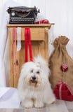 在圣诞节的滑稽的狗 Purebred Coton与包裹p的de Tulear 库存图片