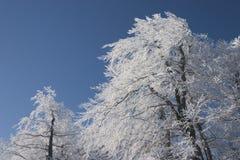 在圣诞节的结霜的树 免版税库存图片