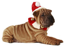 在圣诞节的Sharpei狗被隔绝的 免版税库存照片