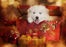 在圣诞节礼物的萨莫耶特人小狗 免版税库存照片