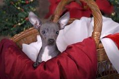 在圣诞节篮子的奇瓦瓦狗小狗 免版税库存图片