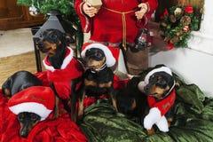 在圣诞节衣物的Miniture短毛猎犬 免版税库存图片