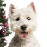 在圣诞节装饰前面的西部高地白色狗 库存照片