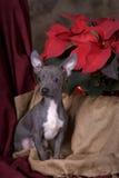 在圣诞节设置的奇瓦瓦狗小狗 库存照片