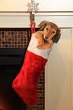 在圣诞节长袜的达克斯猎犬小狗 免版税图库摄影