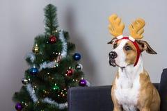 在圣诞节驯鹿头饰带和毛皮树的狗 图库摄影