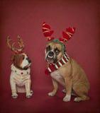 在圣诞节鹿角的英国牛头犬 库存照片