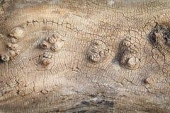 在圣赛勒斯海滩的漂流木头在苏格兰 库存图片