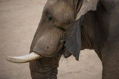 在圣迭戈徒步旅行队公园的非洲大象吃干草的 免版税库存照片