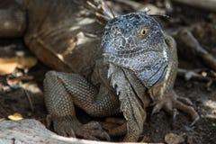 在圣马尔滕海岛上的鬣鳞蜥  免版税库存图片