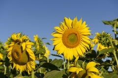 在圣洁谷#04,意大利列蒂的向日葵 库存照片