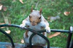 在圣Jame的公园的灰鼠 免版税库存照片