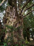 在圣Mary's教区教堂和校舍的Knarled树下面的Alderley的彻斯特 库存图片
