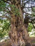 在圣Mary's教区教堂和校舍的Knarled树下面的Alderley的彻斯特 图库摄影