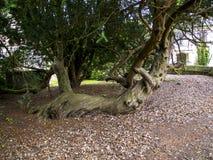 在圣Mary's教区教堂和校舍的Knarled树下面的Alderley的彻斯特 免版税图库摄影