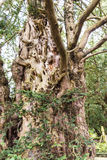 在圣Marys,下面的Alderley教区教堂地面的扭转和粗糙的树在彻斯特 库存图片