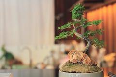 在在日本料理店里面的柜台安置的罐的盆景树 免版税库存照片