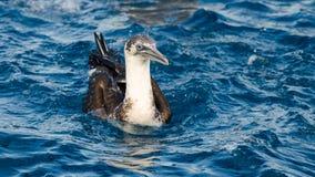 在地中海的年轻gannet 库存图片
