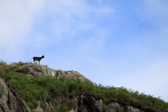 在地平线的山羊在野山羊公园,苏格兰 免版税库存图片