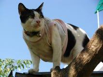 在地方v的英俊的泰国黑白色猫wareing的服装 免版税库存照片