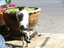 在地方vi的英俊的泰国黑白色猫饮用水 库存照片
