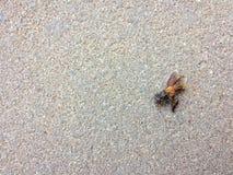 在地板上的一只死的蜂 图库摄影