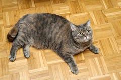 在地板上的一只肥胖英国猫 图库摄影