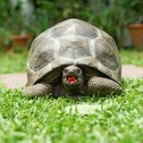在地板上的一只草龟 免版税库存照片