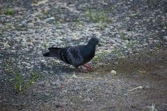 在地板上的一只鸽子 图库摄影