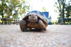 在地板上的乌龟 库存图片