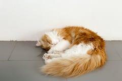 在地板上的可爱的棕色波斯猫睡眠在咖啡店 免版税库存图片