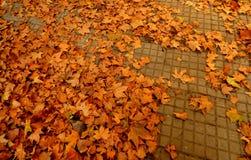 在地板上的干燥槭树叶子 免版税库存图片