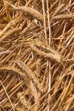 在地板上的干麦子 库存图片