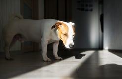 在地板上的杰克罗素狗筋疲力尽的睡眠 滑稽的姿势,看照相机 免版税库存照片