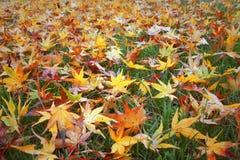 在地板上的湿槭树叶子 免版税图库摄影