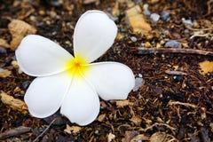 在地板上的白色羽毛或赤素馨花花 免版税库存照片