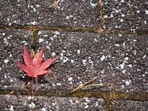 在地板上的红槭叶子 免版税库存图片