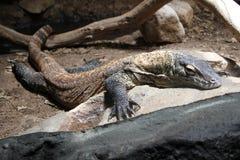 在地板上的蜥蜴 库存照片