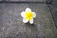 在地板上的黄色白色赤素馨花花 库存图片
